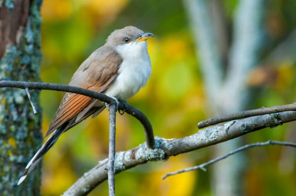 yellow billed cuckoo bird sitting on a branch with a green and yellow backdrop